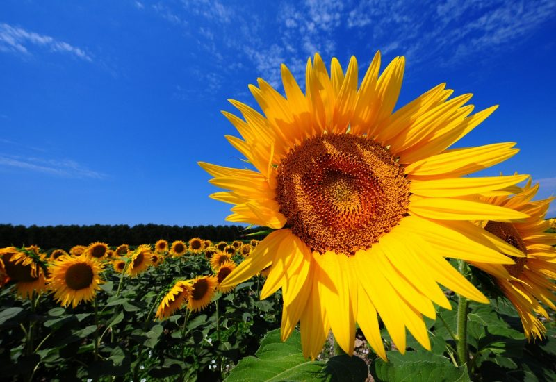 sunflower-fields